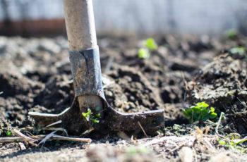 cultiver legumes